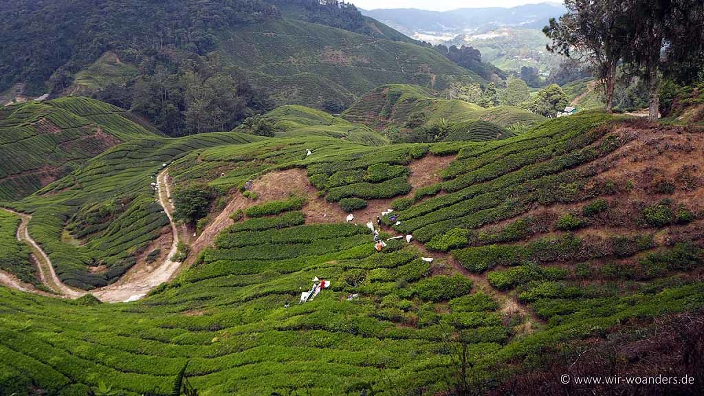 BOH Tea usage of Harvester