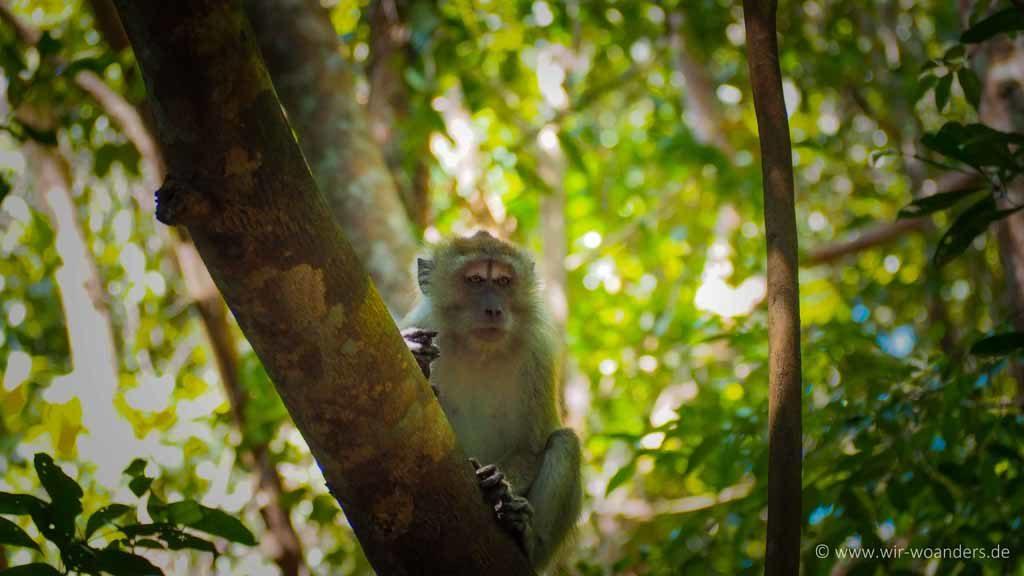 affe monkey 2 taman negara pulau pinang penang