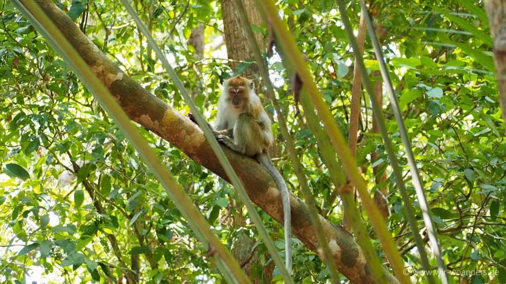 affe monkey 1 taman negara pulau pinang penang