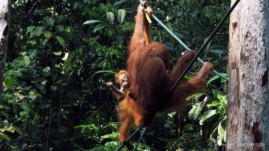 semenggoh_wildlife_center_borneo
