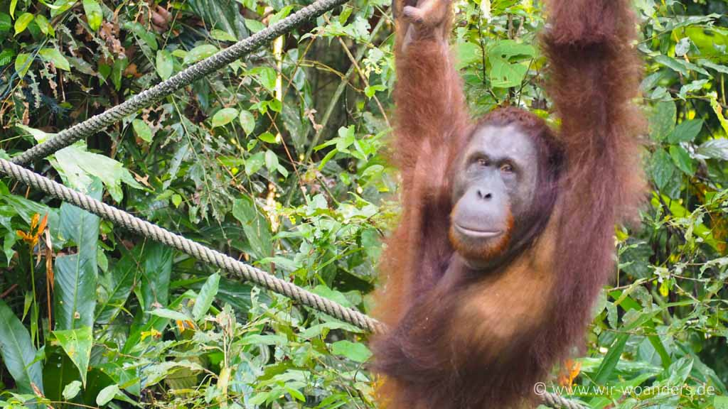 Orang Utan im Semmenggoh Recreation-Center