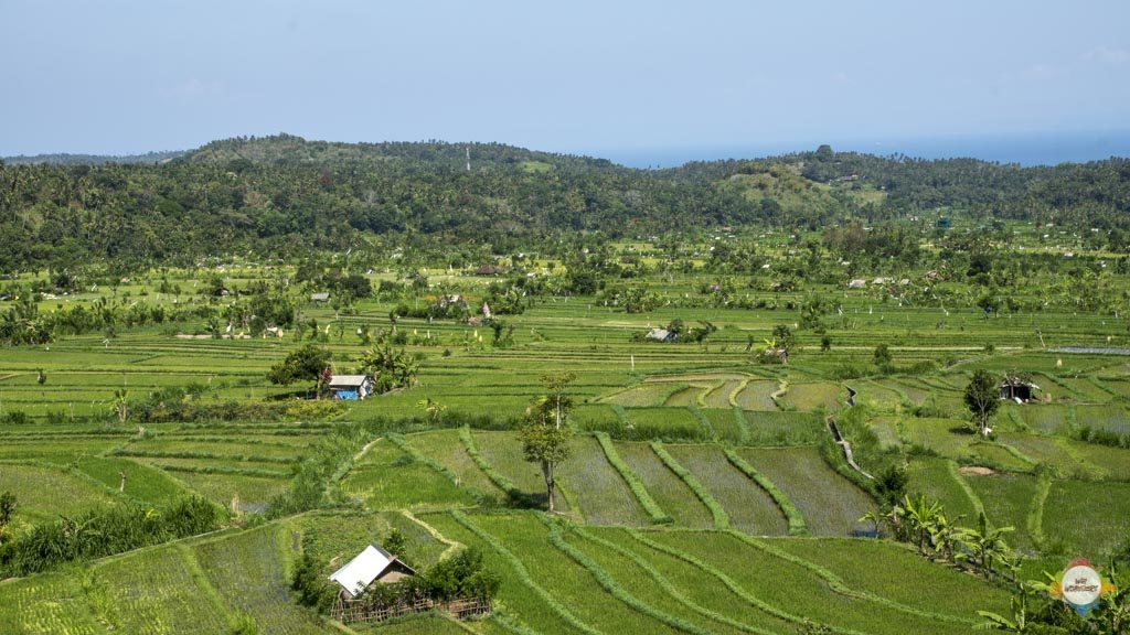 rice fields on the way to Amed, Bali