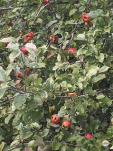 Apples at Lewis Pass
