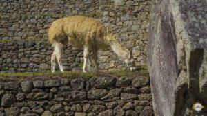 Lamas am Machu